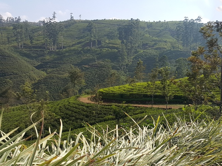 ceylon_tea_plantation_Sri_Lanka_by_Fernanda_Prats